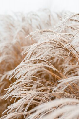 Plakat Abstract natural background of soft plants Cortaderia selloana. Frosted pampas grass on a blurry bokeh, Dry reeds boho style. Patterns on the first ice. Earth watching