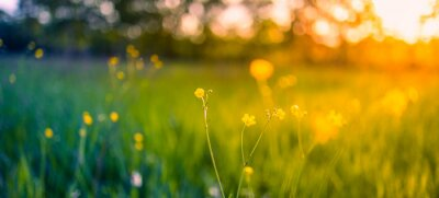 Plakat Abstract soft focus sunset field landscape of yellow flowers and grass meadow warm golden hour sunset sunrise time. Tranquil spring summer nature closeup and blurred forest background. Idyllic nature
