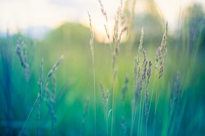 Plakat Abstract sunset field landscape of grass meadow on warm golden hour sunset or sunrise time. Tranquil spring summer nature closeup and blurred forest background. Idyllic nature scenery