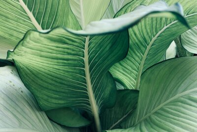 Plakat Abstract tropical green leaves pattern, lush foliage houseplant Dumb cane or Dieffenbachia the tropic plant.