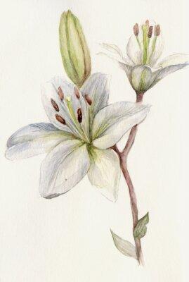 Plakat Akwarele ilustracji botanicznej białe lilie na kremowym tle.