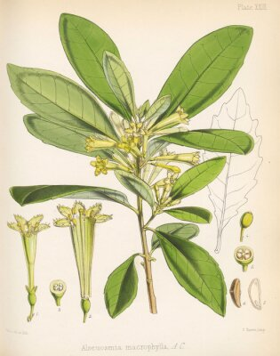 Plakat Alseuosmia macrophylla