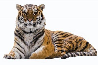 Plakat Amur tygrysa na białym tle izolowane
