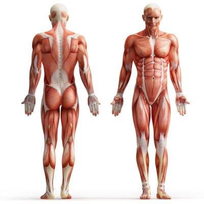 Plakat anatomia, mięśnie