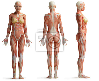 Plakat Anatomia samice