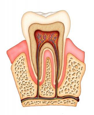 Plakat anatomia stomatologiczna