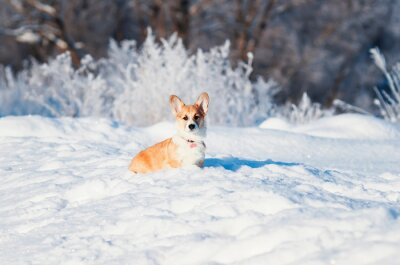 animal little red Corgi puppy walks in the Sunny winter pack in deep white snow