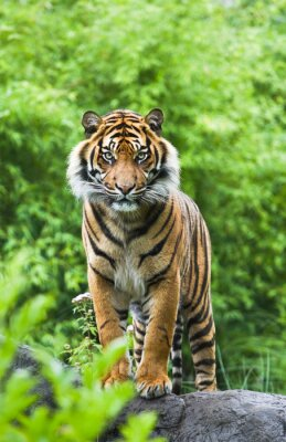 Plakat Asian-lub Tygrys bengalski z bambusa tle krzewów