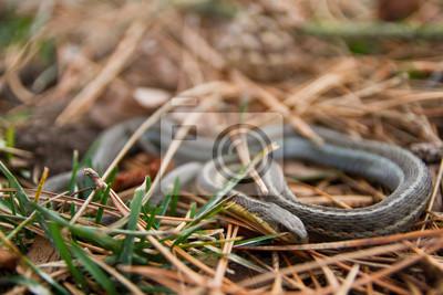 Plakat Baby Snake