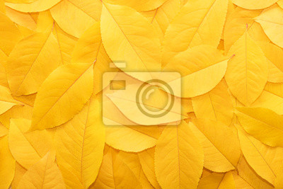 Plakat Background from autumn fallen leaves close-up. The texture of the yellow foliage.