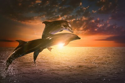 Plakat Beautiful bottlenose dolphins jumping out of sea at sunset
