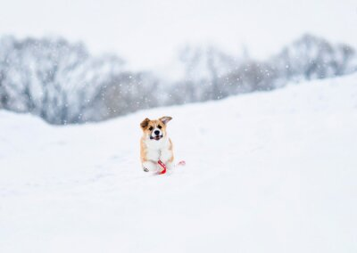 beautiful little red puppy Corgi fun runs on a white field in the winter in the village during a snowfall on a red leash