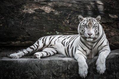 Plakat beautiful portrait of white bengal tiger in wildlife