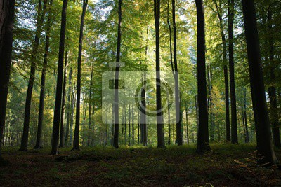 Plakat Beautiful scenery of high green trees in the forest with the sun rays during daytime in Brussels