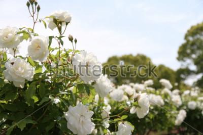 Plakat Beautiful white rose