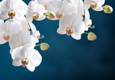 Plakat Biała orchidea