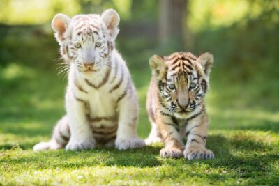 Plakat białe i czerwone Tiger Cubs plenerze