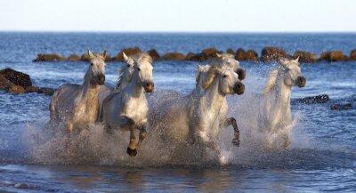 Plakat Białe konie biegną wzdłuż brzegu morza we Francji.