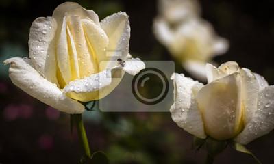 Plakat Białe róże w ogrodzie