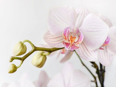Plakat Biały i różowy kwiat orchidei