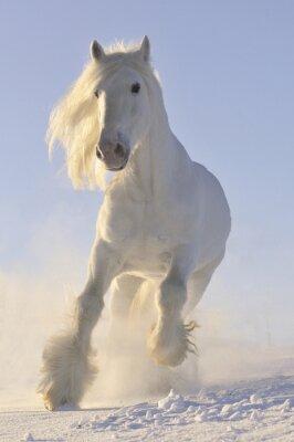 Plakat biały koń galop w zimie run