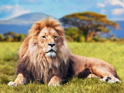 Plakat Big sawanny lew leżący na trawie. Kenia, Afryka