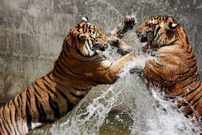 Plakat Bitwa tygrysa