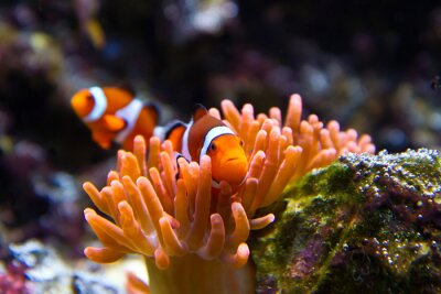 Plakat błazenki w akwarium morskim