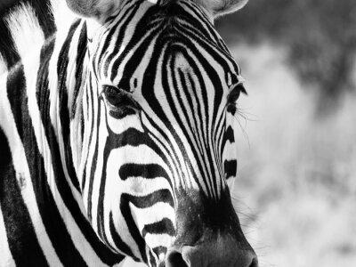 Plakat Bliska głową zebra