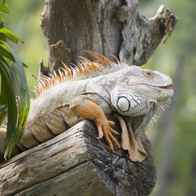 Plakat Bliska Iguana
