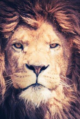 Plakat Bliska lwa pocztowego z grzywy i niebezpiecznej i potężny twarz - portret zwierząt