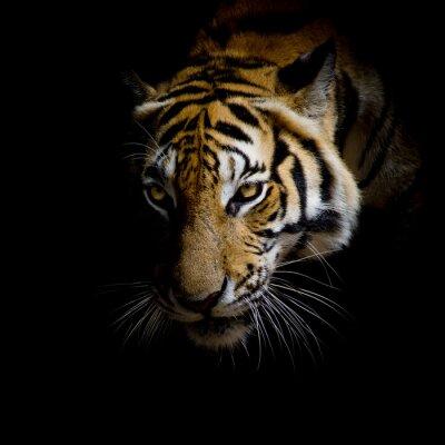 Plakat bliska twarz tygrys samodzielnie na czarnym tle