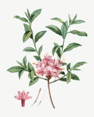 Plakat Blooming Azalea