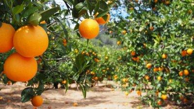 Plakat Bloomy pomarańczowy ogród w Walencji