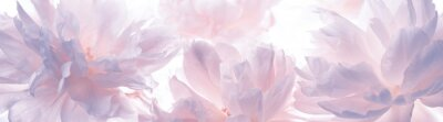Plakat Blossoming delicate peony,pastel and soft background
