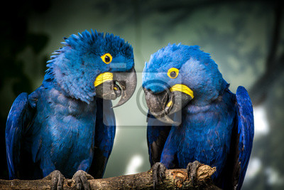 Plakat blue and yellow macaw