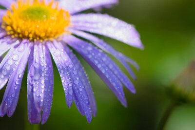 Plakat blue chamomile flowers. chamomile with drops after rain, morning dew, moisture on the petals. Beautiful blue flower on a blurred background. delicate purple chamomile with yellow pollen in the center