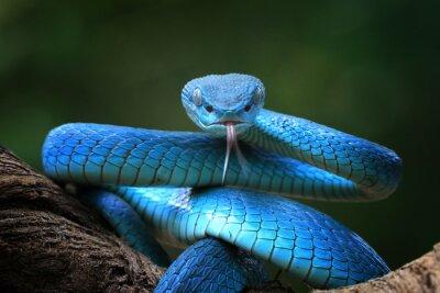 Plakat Blue viper snake closeup face, viper snake, blue insularis, Trimeresurus Insularis, animal closeup