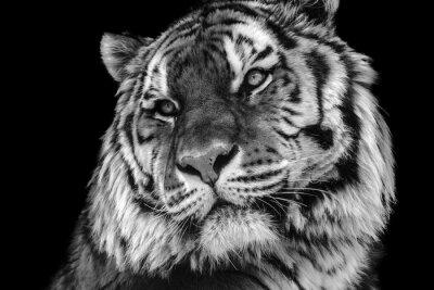 Plakat Bold kontrast czerni i bieli tygrys zbliżenie twarzy