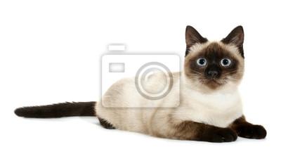 Plakat Brązowy Beżowy Kot Z Niebieskimi Oczami Leży Na Wymiar