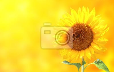 Bright słonecznika na żółtym tle