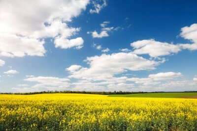 Plakat Bright yellow canola field and blue sky on sunny day. Location rural place of Ukraine, Europe. Photo of ecology concept. Perfect wallpaper. Concept of agrarian industry. Discover the beauty of world.
