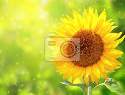Plakat Bright yellow sunflower on green background