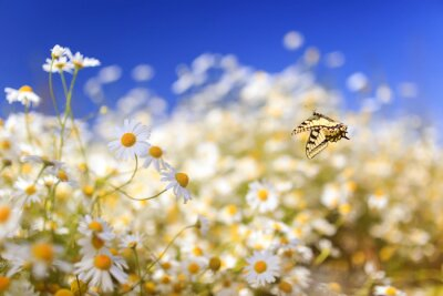 Plakat  bright yellow swallowtail butterfly flutters over white beautiful flowers of daisies on a summer sunny rural meadow on a warm day