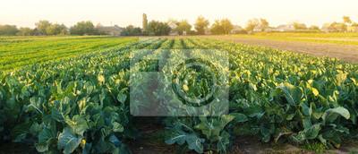 Plakat Broccoli plantations in the sunset light on the field. Growing organic vegetables. Eco-friendly products. Agriculture and farming. Plantation cultivation. Cauliflower. Selective focus