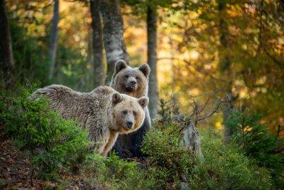 Plakat Brown bear in autumn forest