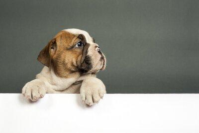 Plakat Buldog angielski puppy.