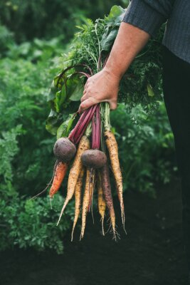 Plakat Bunch of vegetables in women's hand. Organic carrots and beets. Healthy food.