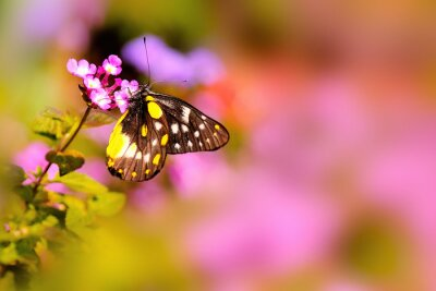 Plakat Butterfly spoczywającej na różowy Lantana kwiat pod ciepłym światłem słonecznym