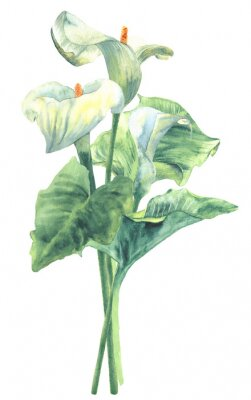 Plakat Calla lilies bouquet, watercolor hand-painted botanical illustration isolated on white